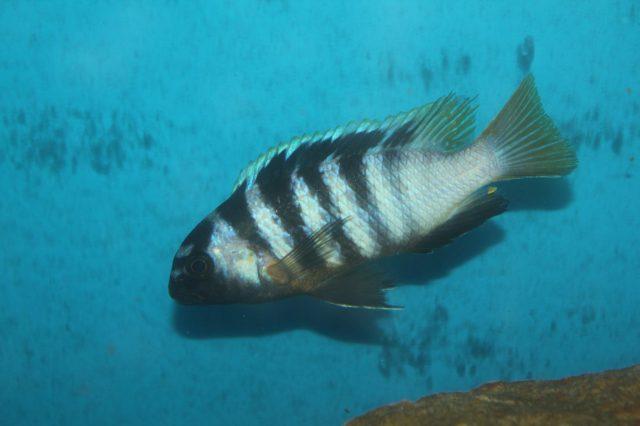 Tropheops microstoma Masasa Reef (samec)