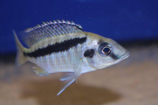 Mylochromis sp. ,mollis north' Hora Mhango (samice)