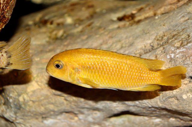 Tropheops sp. 'chilumba' Mphanga Rock (samice)