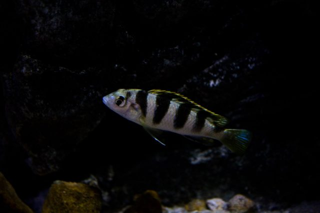 Labidochromis sp. 'perlmutt' (samice)