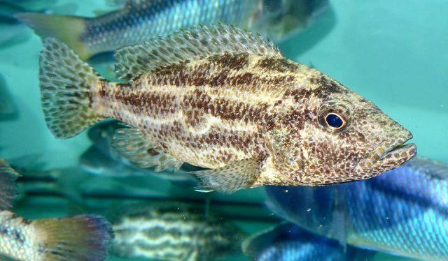 Nimbochromis polystigma (samice)