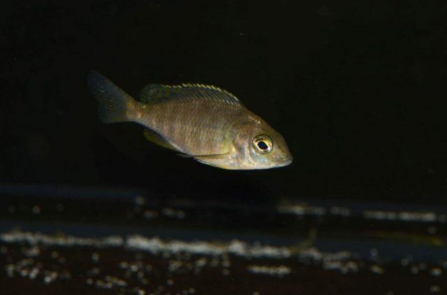 Placidochromis sp. 'mbamba' (samice)
