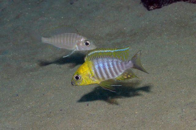 Aulonocara sp. 'chitande type north' (samec a samice)