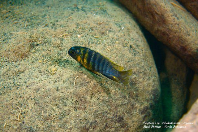 Tropheops sp. ,red cheek north' Ngwazi