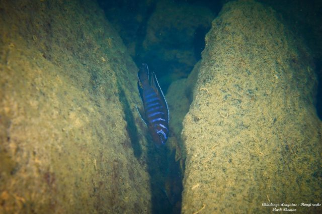Chindongo elongatus Hongi Island