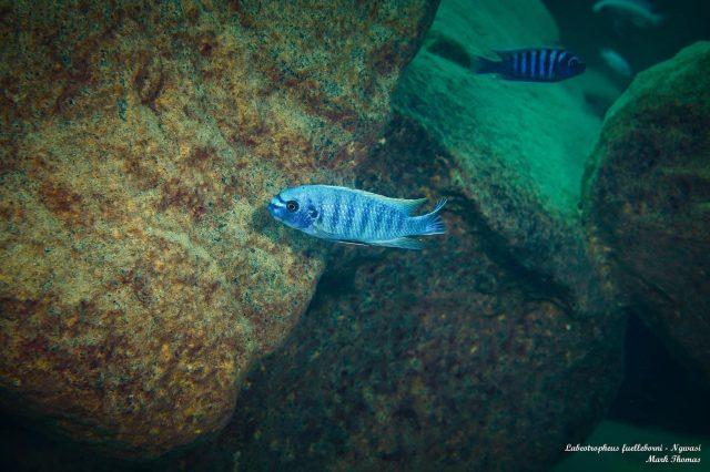 Labeotropheus fuelleborni (11)