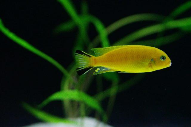 Metriaclima sp. 'daktari' Hai Reef (samec)
