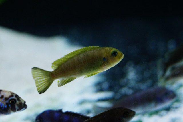 Metriaclima sp. 'daktari' Hai Reef (samice)