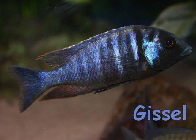 Placidochromis electra Gome