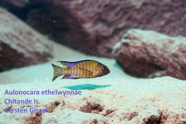 Aulonocara ethelwynnae Chitande Island(samec)