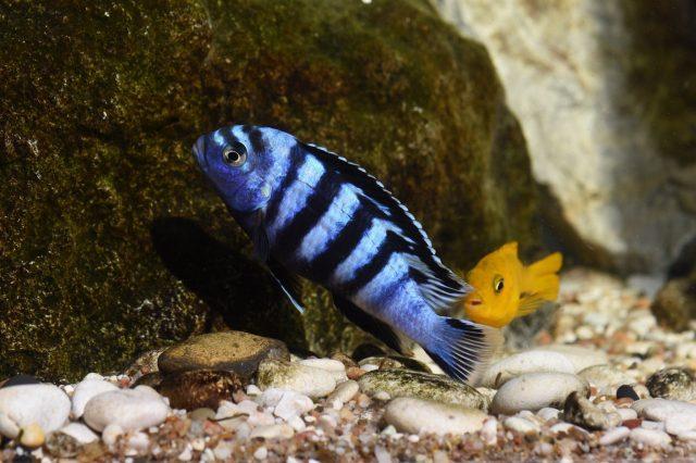 Chindongo saulosi Taiwane Reef (samec a samice)