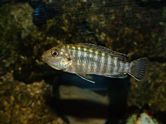 Labidochromis flavigulis Machili Island (samice)