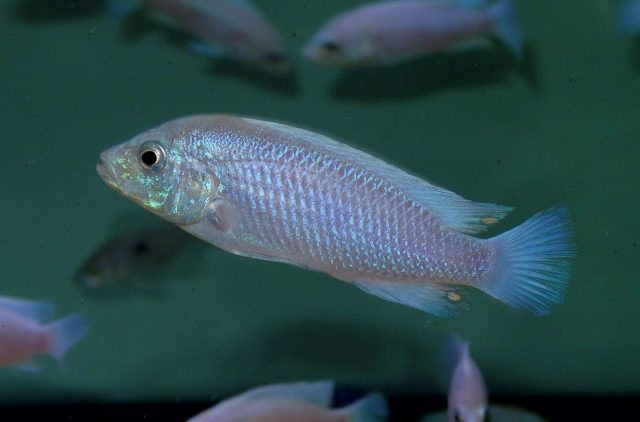 Labidochromis caeruelus