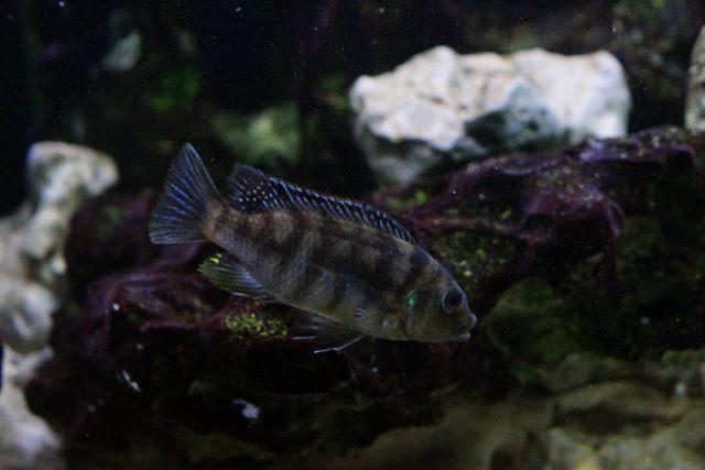 Petrotilapia xanthosGallireya Reef (samice)