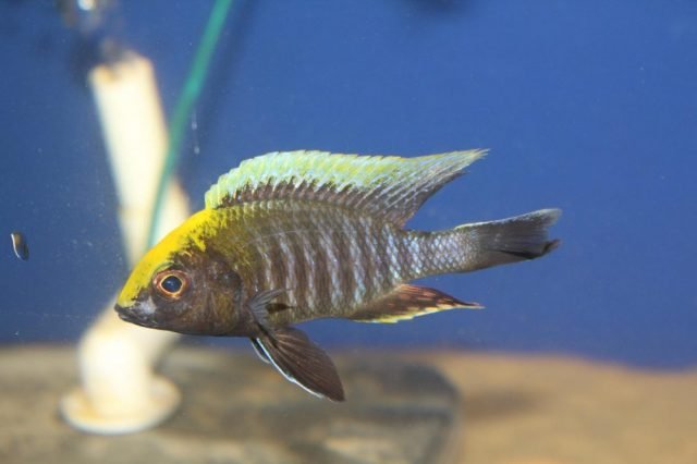 Aulonocara maylandi Luwala Reef (samec)