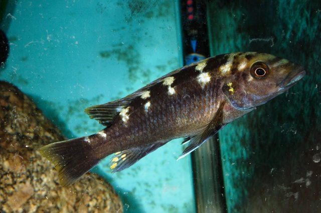 Melanochromis baliodigma (samice)