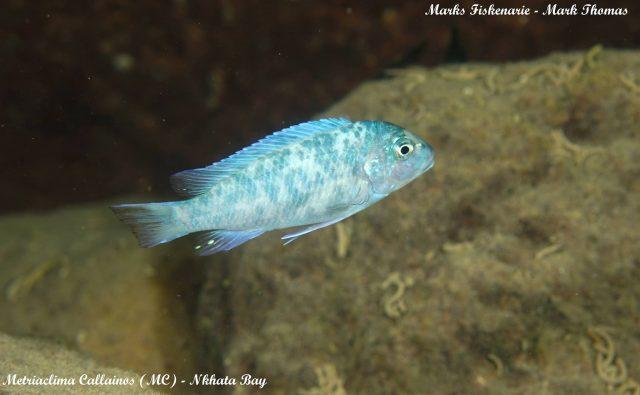 Metriaclima callainos Nkhata Bay (MC samec)
