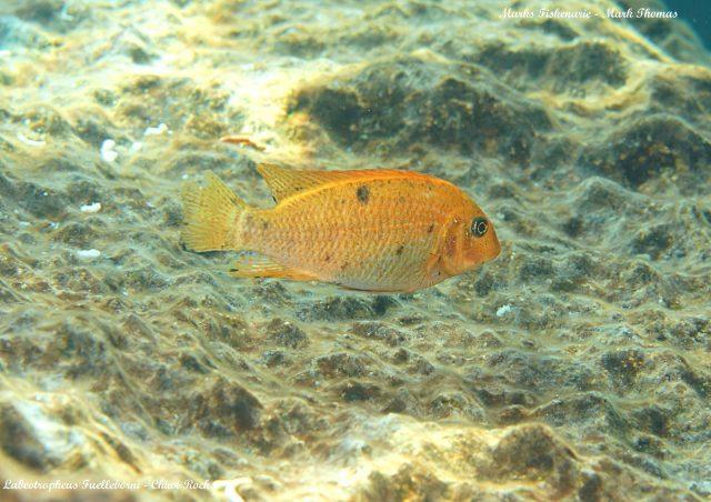Labeotropheus fuelleborni Chiwi Rock (O samice)