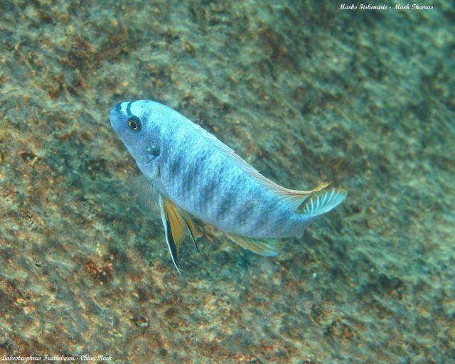 Labeotropheus fuelleborni (14)