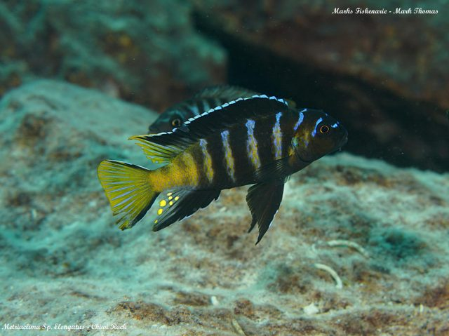 Metriaclima sp. 'elongatus goldbar' (samec)