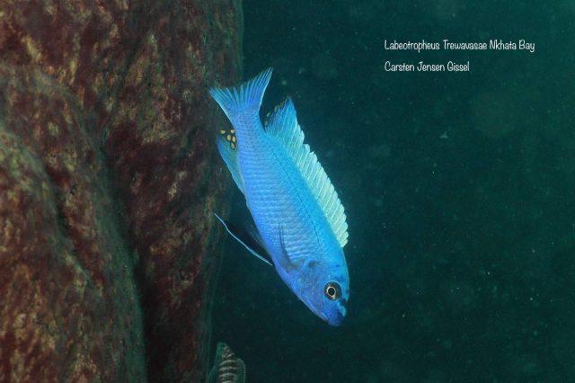 Labeotropheus trewavasae Nkhata Bay (samec)