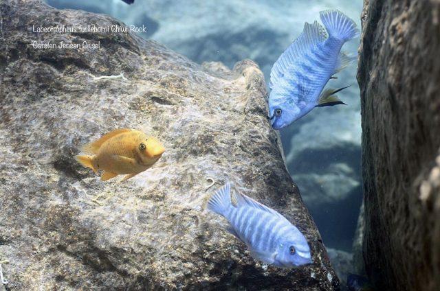 Labeotropheus fuelleborni Chiwi Rock