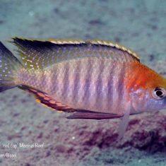 Lethrinops sp. 'red cap tsano'