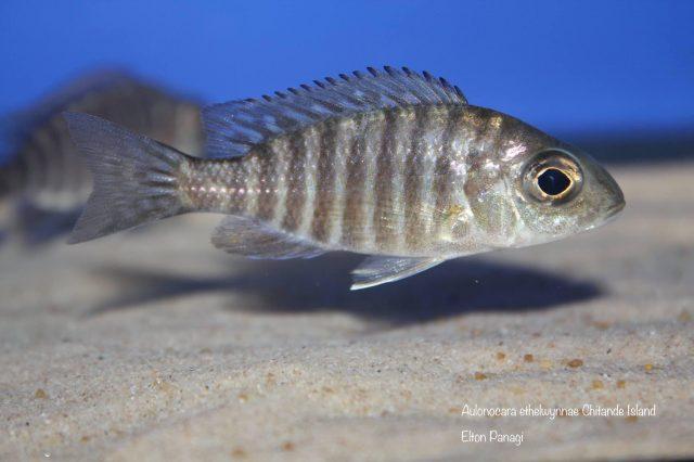 Aulonocara ethelwynnae Chitande Island(samice)