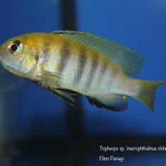 Tropheops sp. 'macrophthalmus'