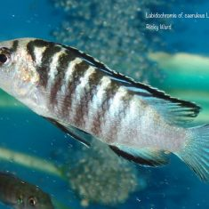 Labidochromis cf. caeruleus