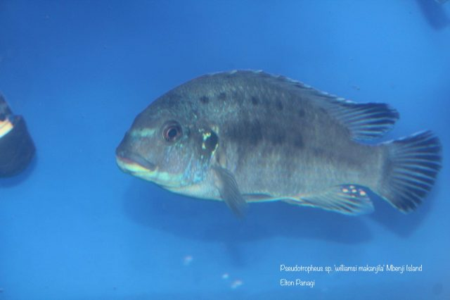 Pseudotropheus sp. ,williamsi makanjila' Mbenji Isalnd