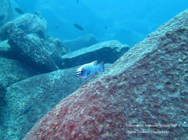 Labeotropheus trewavasae Taiwanee Reef