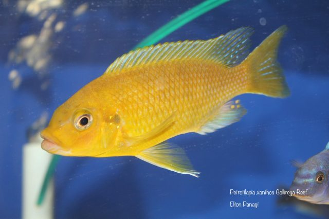Petrotilapia xanthosGallireya Reef (samec)