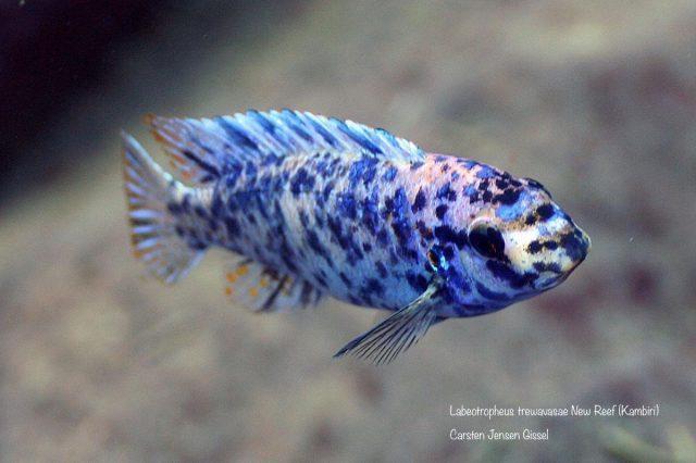 Labeotropheus trewavasae Kambiri Reef (MC samec)