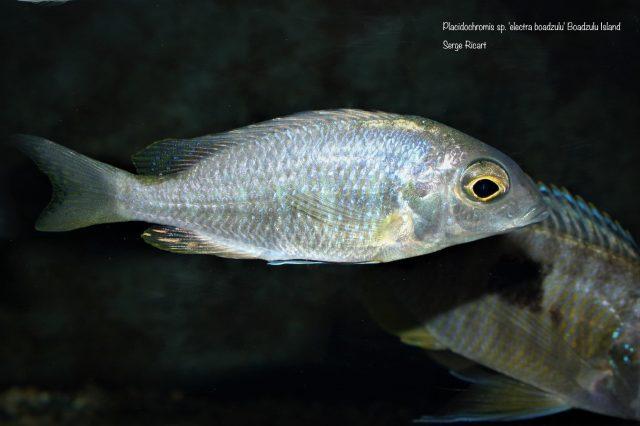 Placidochromis sp. 'electra boadzulu' (samice)