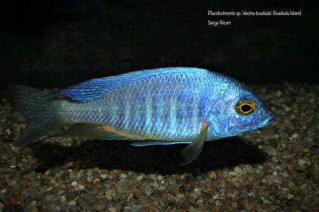 Placidochromis sp. 'electra'