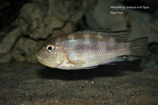 Metriaclima sp. 'lanisticola north' Ngara (samice)