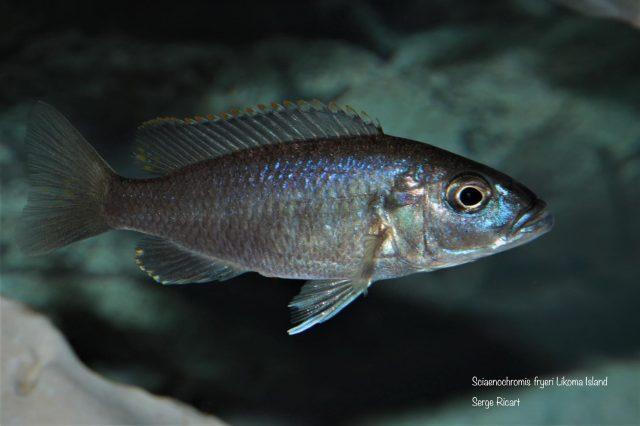 Sciaenochromis fryeri Likoma Island (samice)