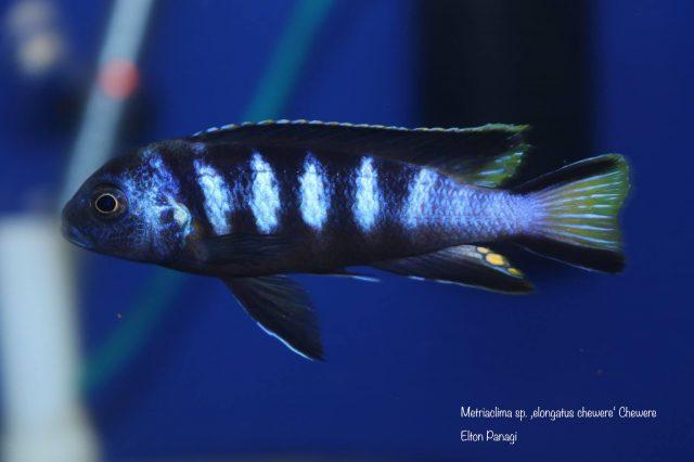 Metriaclima sp. 'elongatus chewere' Chewere (samec)