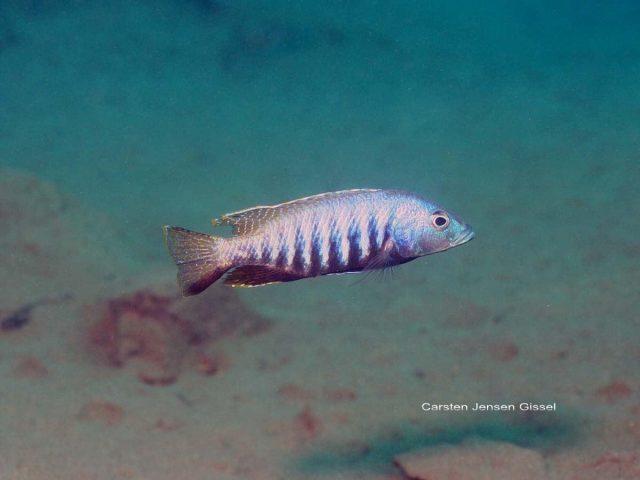 Sciaenochromis sp. 'nyassae'