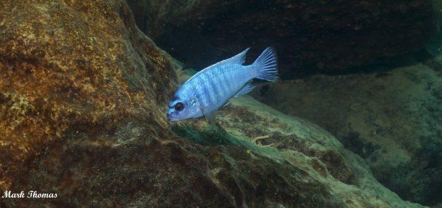 Labidochromis gigas Mitande(samec)