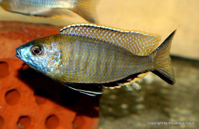 Nyassachromis prostoma (samec)