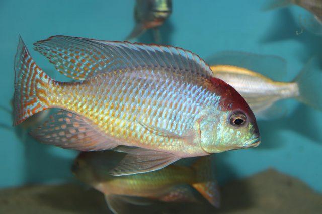 Lethrinops sp. 'red cap' Itungi (samec)