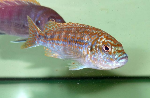 Labidochromis joanjohnsonae Likoma Island (samice)