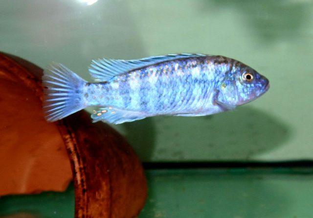 Labidochromis joanjohnsonae Likoma Island (samec)