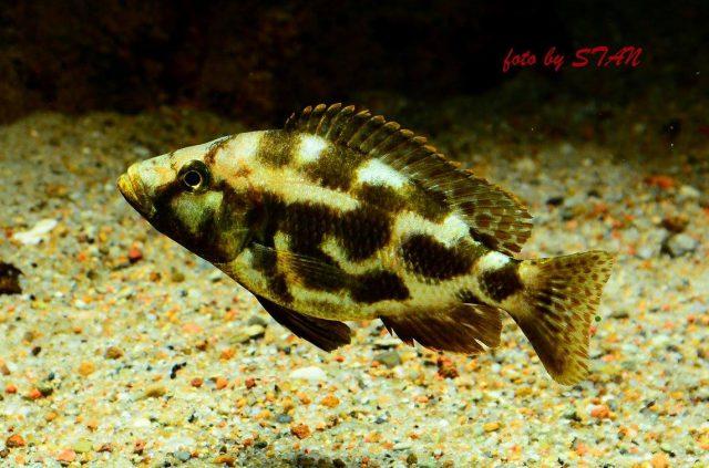 Nimbochromis livingstonii (samice)
