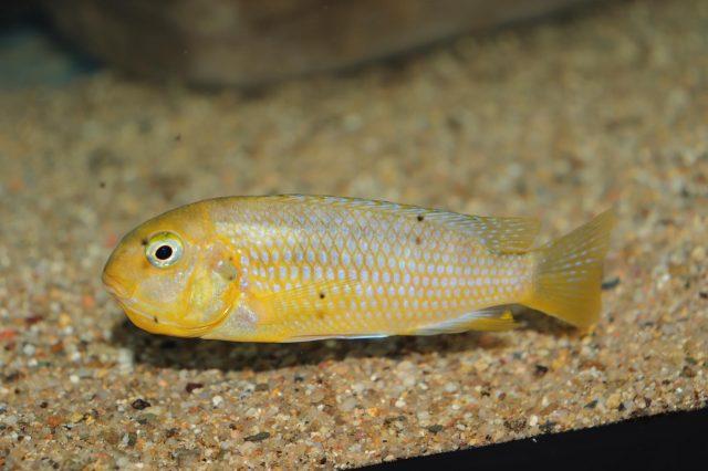 Tropheops macrophthalmus Makonde(samice)