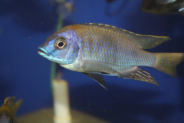 Otopharynx sp. 'auromarginatus mara' (samec)