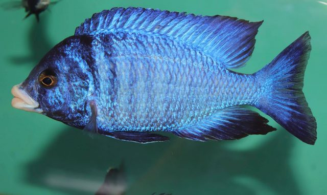 Placidochromis phenochilus (samec)