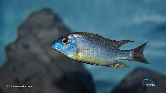 Naevochromis chrysogaster (samec)
